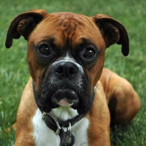 Boxers are awesome