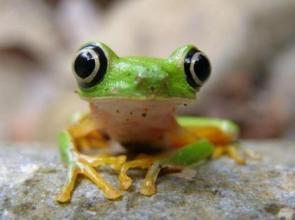 Bug Eye Frog