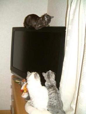 A Cat On A LCD TV