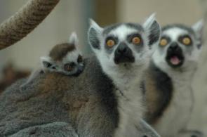 Lemur Shock!