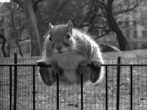 Squirrel Fence Squatter