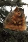 Fat Winter Squirrel