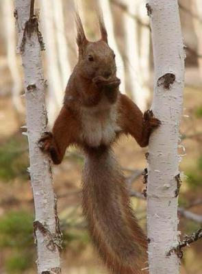 Red Squirrel Split