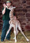Feeding a baby giraffe
