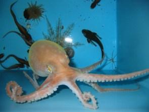 My Pet Octopus