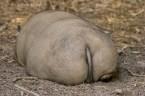 Pig Butt