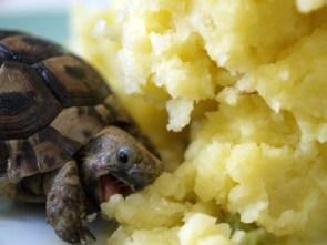 Turtle Attacking Mashed Potatoes