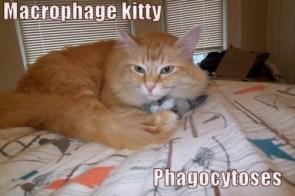 Macrophage kitty Phagocytoses