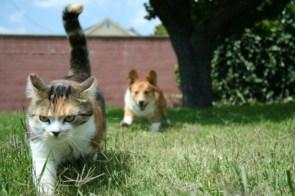 One Corgi Vs One Pissed Off Cat