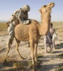 camel humper