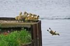 Suicidal Duck