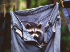 Racoon In Blue Jeans