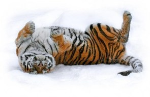 A Tiger in the snow