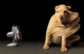 Wrinkly Dog Vs Fan