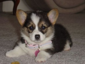 cute puppy – pink collar