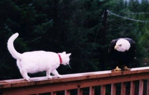 eagle cat