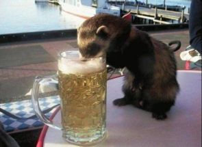 otter drinking beer