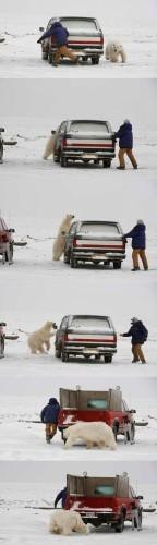 polar bear chase