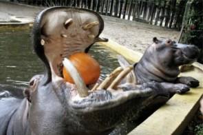Hippo Snack 2
