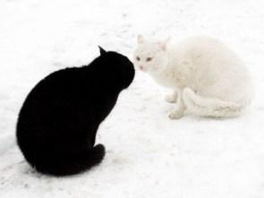 Ying Yang Cat Fight
