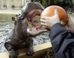 Hippo Snack 1