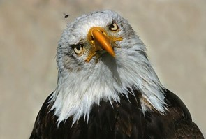 Inquisitive Eagle