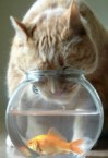 Cat Vs Fish In Fish Bowl