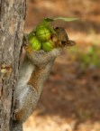 Greedy Squirrel