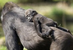 sleepy gorilla