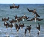 Diving birds