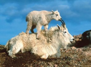 Goat Stack