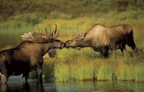 kissing moose