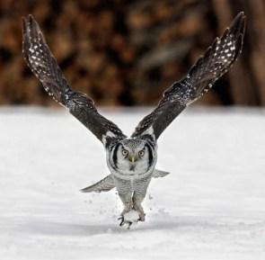 Owl Lift Off