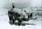 Young steer after blizzard – NOAA
