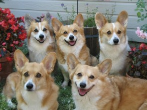 corgi squad
