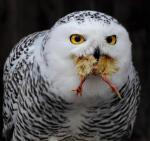 owl w food
