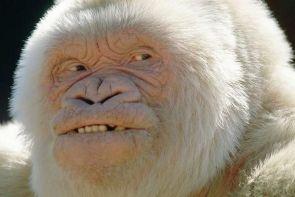 Venerable Gorilla