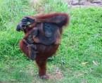 one leg orangutan