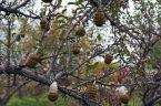 grenade tree