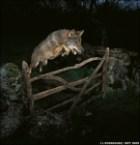 Three Wolf Jump (+Moon)
