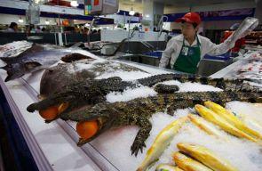 gators on ice