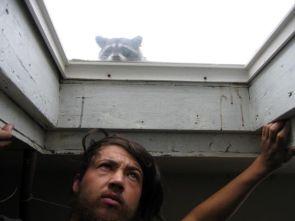 window racoon
