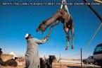 I am a flying camel