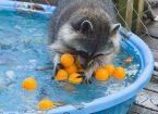 racoon pool