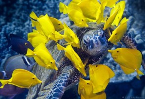 yellow fish with blue turtle