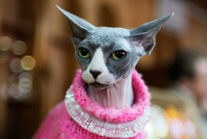 fancy cat with no hair