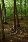 spiral tree roots