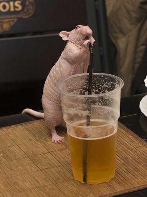 rat lieks beer