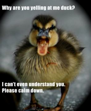 why are you yelling at me duck
