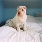 wrinkled dog on bed